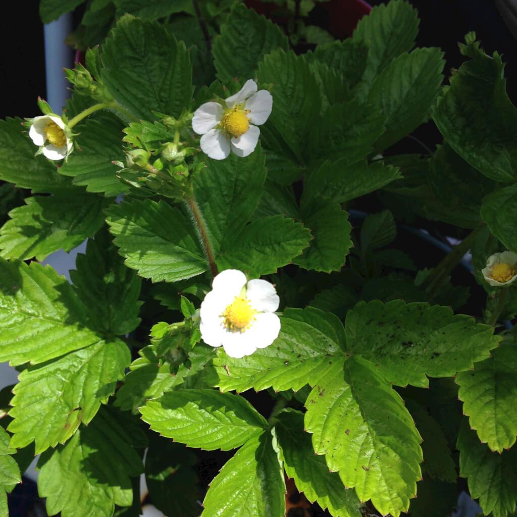 Bosaardbei bloemen