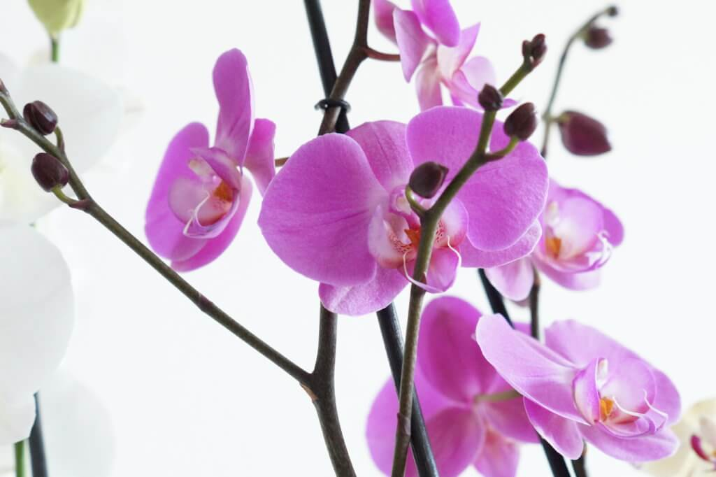 Natural Orchids