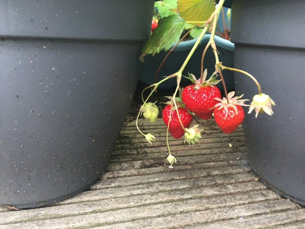 Aardbeienbalkon